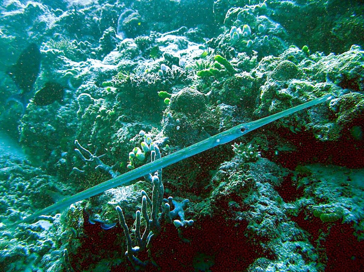 Bluespotted cornetfish - Wikipedia