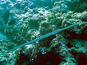 Bluespotted cornetfish - Fistularia commersonii from Maldives