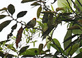 Flame-faced Tanager (453473544).jpg