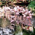 Flamencos del Zoologico de Cali.jpg