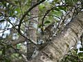 Flaucortia indica (6368098649).jpg