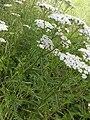 Fleurs d'achilée millefeuille 2.jpg