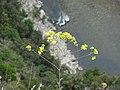 Fleurs des gorges de l'Ardèche 09.jpg
