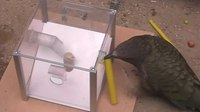 File:Flexibility-in-Problem-Solving-and-Tool-Use-of-Kea-and-New-Caledonian-Crows-in-a-Multi-Access-Box-pone.0020231.s002.ogv