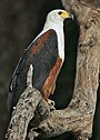 Flickr - Rainbirder - African Fish Eagle.jpg