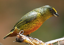 Flickr - Rainbirder - Olive-backed Euphonia (Euphonia gouldi) male.jpg