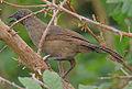 Flickr - Rainbirder - Scaly Babbler (Turdoides squamulatus) (1).jpg