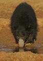 Flickr - Rainbirder - Sri Lankan Sloth Bear (Melursus ursinus inornatus).jpg