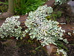 Flickr - brewbooks - Parmelia Lichen on our Japanese Lace leaf maple.jpg