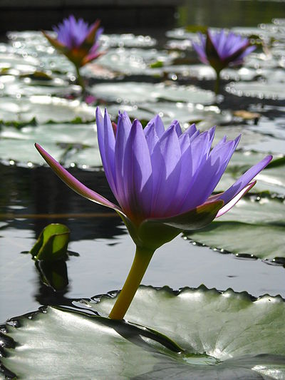 Water lilies grow rooted in the bottom with leaves that float on the water surface. FloatingRedBlueLilies.JPG