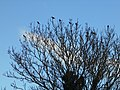 Flock of starlings in tree, Somerton, Somerset 03.jpg