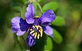 Flor solitaria de guayacán.jpg