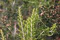 Flora della Sardegna 140 (5).JPG