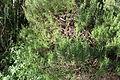 Flora della Sardegna 211 (2).JPG