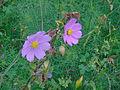 Flores lilas 01.JPG