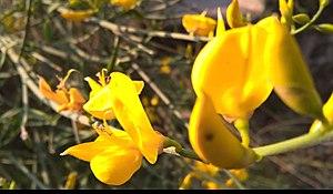 Pi Gamma Mu - The Cineraria (Official Flower)