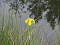 Flower, Grass and Reflections at Old Moor - geograph.org.uk - 916814.jpg