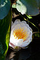 Flower, Water Lily - Flickr - nekonomania.jpg