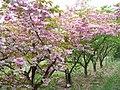 Flowering Cherries at Brogdale - geograph.org.uk - 417668.jpg