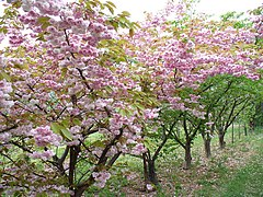 Flowering Cherries at Brogdale - geograph.org.uk - 417668.jpg