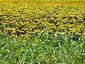 Flowers from western ghats (49).jpg