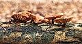 Fluweelpootjes (Flammulina velutipes.) 06-01-2020 (d.j.b) 02.jpg