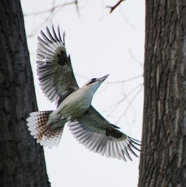 Flying Kookaburra DSC 0711 edit1.JPG