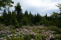 Forest-trees-wildlfowers - West Virginia - ForestWander.jpg