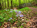 Forest-wildflowers-footbridge - West Virginia - ForestWander.jpg
