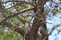 Foudia madagascariensis (21922541449).jpg