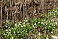Frühlings-Knotenblume, Leucojum vernum 37.JPG