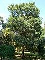 Fraxinus excelsior, 2020 Marcali.jpg