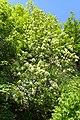 Fraxinus ornus kz06.jpg