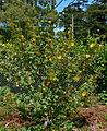 Fremontodendron California Glory 1.jpg