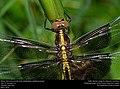 Freshly-emerged Widow Skimmer, juvenile male (Libellulidae, Libellula luctuosa) (26475116433).jpg