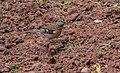 Fringilla coelebs in Aveyron (4).jpg
