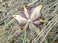 Fritillaria lusitanica flor atras.jpg