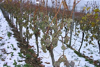 Luxembourg wine - Grapes left hanging on the vine in Luxembourg to produce ice wine.