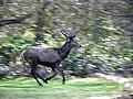 GOC Richmond 079 Red deer (Cervus elaphus) (14662529023).jpg