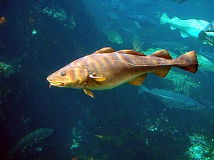 Cod fisheries - Gadus morhua (Atlantic cod)