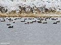 Gadwall (Anas strepera), Mallard (Anas platyrhynchos), Red-crested Pochard (Netta rufina) & Tufted Duck (Aythya fuligula) (39838970703).jpg