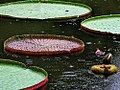 Gaint Lily with flower bud I IMG 2607.jpg