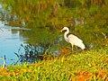 Garça pescando no lago do pq ecológico pela manhã 2 - panoramio.jpg