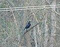Gavran (Corvus corax), Common Raven.jpg