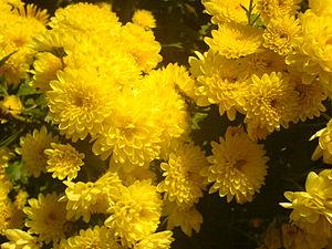 Chrysanten in volle bloei, midden november 2006
