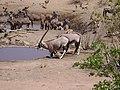 Gemsbok (Oryx gazella) (8603191855).jpg