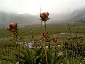 Purpur-Enzian (Gentiana purpurea)