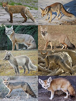 Various true foxes: left to right, then top to bottom: red fox, Rüppell's fox, corsac fox, Bengal fox, Arctic fox, Blanford's fox, Cape fox, and fennec fox.