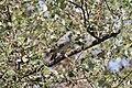 Geopelia striata, Java.jpg