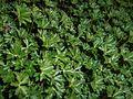 Geranium dalmaticum 2016-04-22 8615.jpg